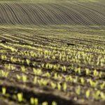 kukurydza-smolik