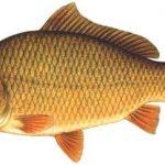 zaneta-na-ryby-karp