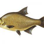 zaneta-na-ryby-leszcz