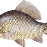 zaneta-na-ryby-lin-karas